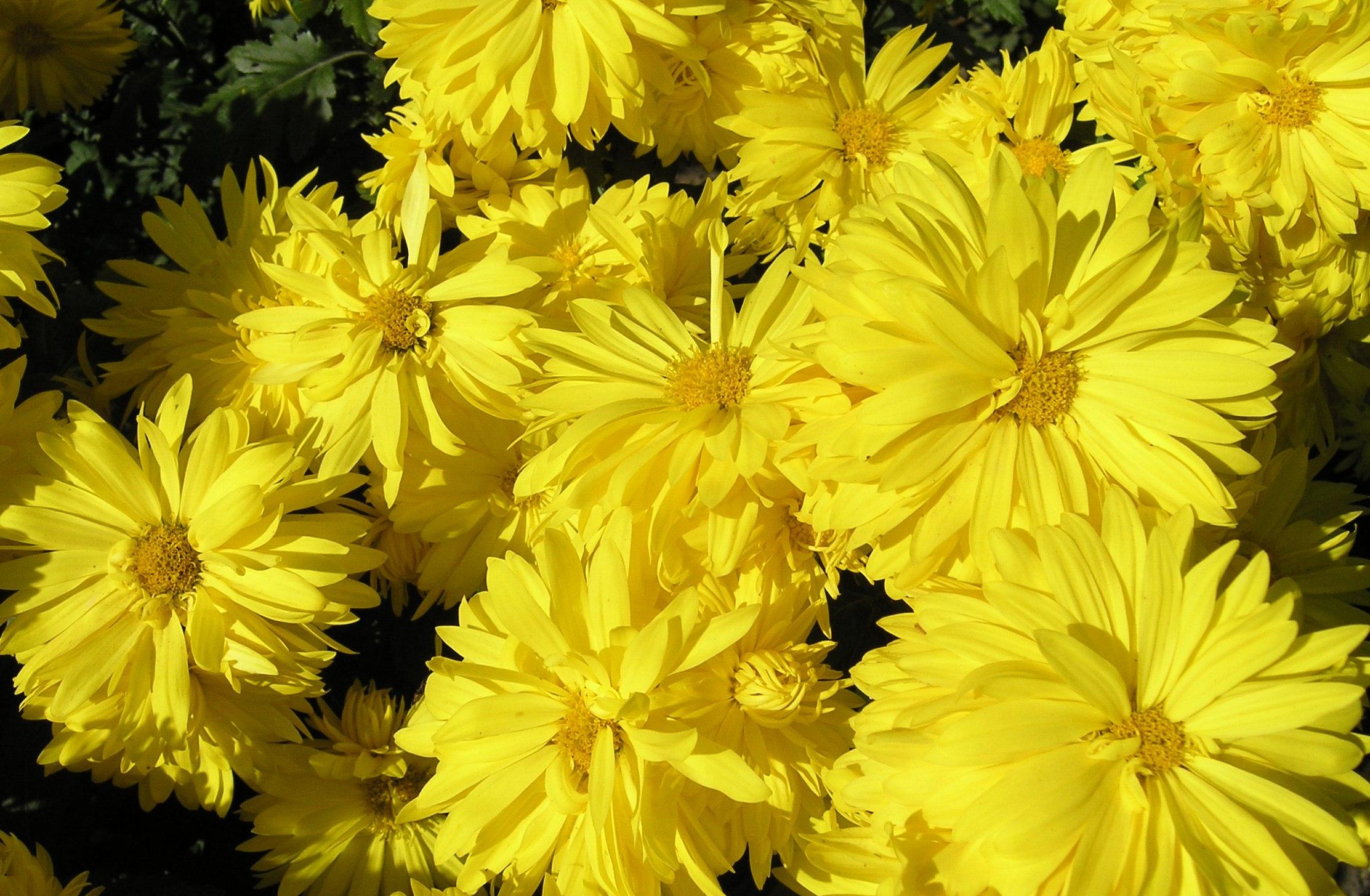 Златоцвет увенчанный фотографии 6